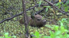 Lesser Capybara hide in swamp 10 Stock Footage