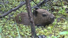 Lesser Capybara hide in swamp 12 Stock Footage