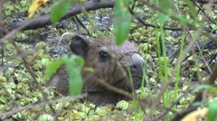 Lesser Capybara hide in swamp 2 Stock Footage