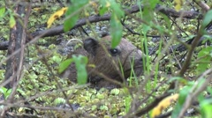 Stock Video Footage of Lesser Capybara hide in swamp 3