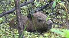 Stock Video Footage of Lesser Capybara hide in swamp 8