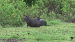 Lesser Capybaras in swamp 2 Stock Footage