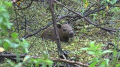 Lesser Capybara walk in swamp 1 Stock Footage