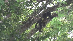 Mantled Howler Monkeyclimb tree 1 - stock footage