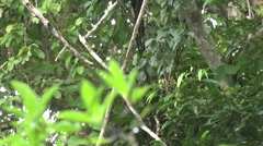 Mantled Howler Monkeyclimb with baby climb tree 1 Stock Footage