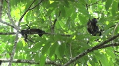 Mantled Howler Monkeys family rest in tree 1 - stock footage