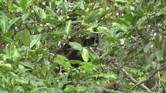 Mantled Howler Monkeys feeding on fruit 3 - stock footage
