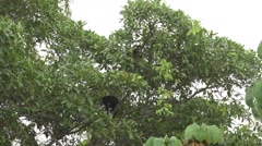 Mantled Howler Monkeys in canopy 1 - stock footage