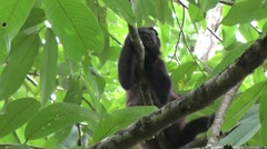Mantled Howler Monkeys rest in tree 3 Stock Footage