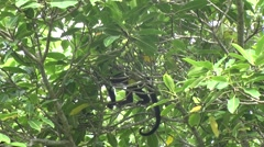Mantled Howler Monkeys youngster move in tree 1 - stock footage