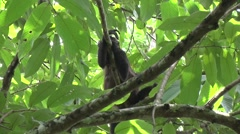 Mantled Howler Monkeys rest in tree 4 Stock Footage