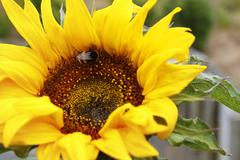Bumble bee on a sunflower - stock photo