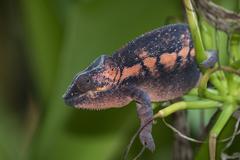 Panther Chameleon Furcifer pardalis female captive native to Madagascar - stock photo
