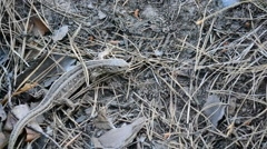 Sand lizard on ground in forest Stock Footage