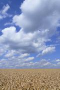 Wheat Field Triticum sp ready for harvest against a blue sky with cumulus - stock photo