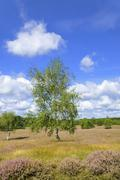 Stock Photo of Westruper Heide nature reserve with Heather Calluna vulgaris and Birch Betula