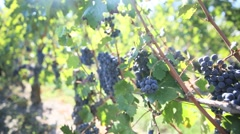 View of red grapes in vine row Stock Footage