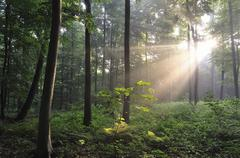 Stock Photo of Sunrays bursting through the fog in a deciduous forest North Rhine Westphalia