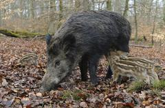Stock Photo of Wild boar Sus scrofa sow suckling her piglets standing captive North