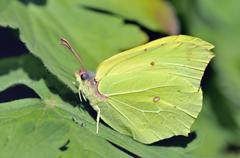 Common brimstone Gonepteryx rhamni male sitting on a leaf North - stock photo