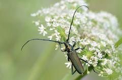 Musk beetle Aromia moschata male sitting on a flower umbel North - stock photo