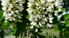 Blossom of black locust swaying in wind in spring Stock Footage