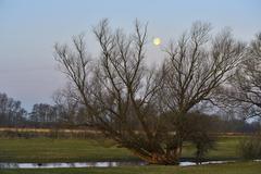 Stock Photo of Full moon over an old tree Wesel Niederrhein North RhineWestphalia Germany