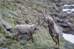 Stock Photo of Alpine ibex Capra ibex also steinbock or bouquetin fighting for rank High