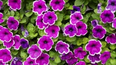 Close up of Petunia, purple petunia Stock Footage
