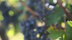 Closeup of bunch of grapes in vineyard Stock Footage