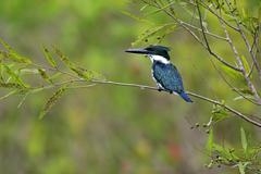 Stock Photo of Amazon kingfisher Chloroceryle amazona adult on the lookout in a tree Pantanal