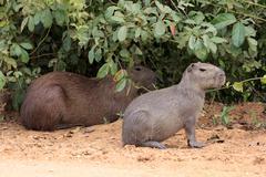 Stock Photo of Capybara Hydrochoerus hydrochaeris adult with young alert on land Pantanal Mato
