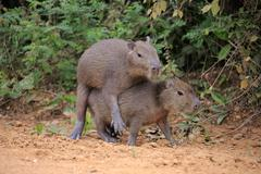 Capybara Hydrochoerus hydrochaeris young animals on land social behavior Stock Photos