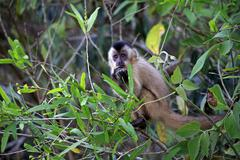 Tufted capuchin Cebus apella young monkey in a tree eating Pantanal Mato Grosso Stock Photos