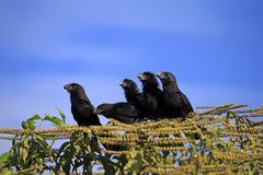 Smoothbilled anis Crotophaga ani sitting on a tree group Pantanal Mato Grosso Stock Photos