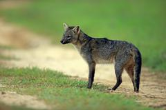 Stock Photo of Crabeating fox Cerdocyon thous adult alert Pantanal Mato Grosso Brazil South