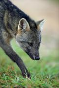 Crabeating fox Cerdocyon thous adult prowling portrait Pantanal Mato Grosso Stock Photos