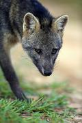 Crabeating fox Cerdocyon thous adult prowling portrait Pantanal Mato Grosso - stock photo