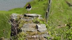 Eurasian Oystercatcher shakes its body and carefully walks to its eggs Stock Footage