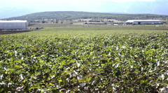 4K Cotton field wide locked shot,industrial,agriculture Stock Footage