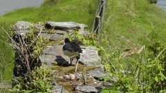 Eurasian Oystercatcher is walking away from its nest Stock Footage