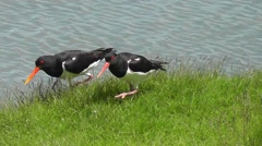 Oystercatcher pair walking together, moving their heads Stock Footage
