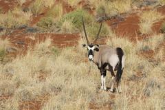 Stock Photo of Gemsbok or gemsbuck Oryx gazella on grassy dune edge of Namib Desert NamibRand