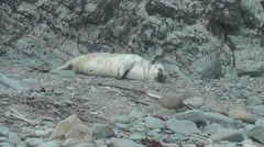 Grey seal pup resting on a beach Stock Footage