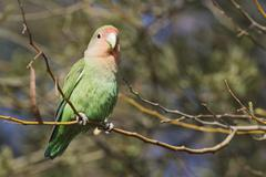 Rosy faced lovebird Agapornis roseicollis adult South east Namibia - stock photo