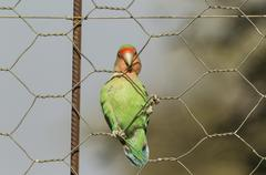 Rosy faced lovebird Agapornis roseicollis adult climbing wire fence - stock photo