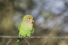 Rosy faced lovebird Agapornis roseicollis juvenile on wire fence South east - stock photo