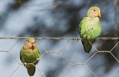 Rosy faced lovebirds Agapornis roseicollis two juveniles on wire fence - stock photo