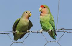 Rosy faced lovebirds Agapornis roseicollis juvenile on left claiming food from - stock photo