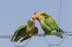 Rosy faced lovebirds Agapornis roseicollis adult on right feeding juvenile on - stock photo